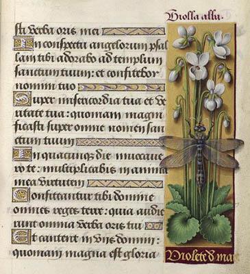 Grandes heures d'Anne de Bretagne - Folio 238 - Violette blanche.
