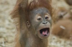 baby-orangutan-1056338_640