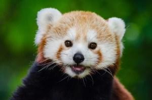 red-panda-981231_640
