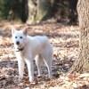 めっちゃ白い犬見てくると思ったら……