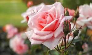 レアな光景。桜の木と絡み合って咲き乱れる薔薇がふつくしい…🌹
