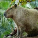 ある動物園に掲示された「カピバラの死因」が壮絶すぎる…