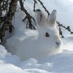 「雪降ったら真似したいw」実にアイデア賞な『うさぎの雪像』が中国で発見されるww