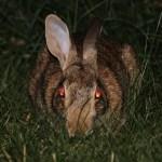 深夜の路上で目撃されたウサギの喧嘩がガチすぎるw