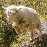 捨てられたマットレスを見つけた子羊たちの荒ぶり方が尋常じゃないw