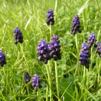 ΜΟΥΣΚΑΡΙ - MUSCARI (GRAPE HYACINTH) / MUSCARI BOTRYOIDES