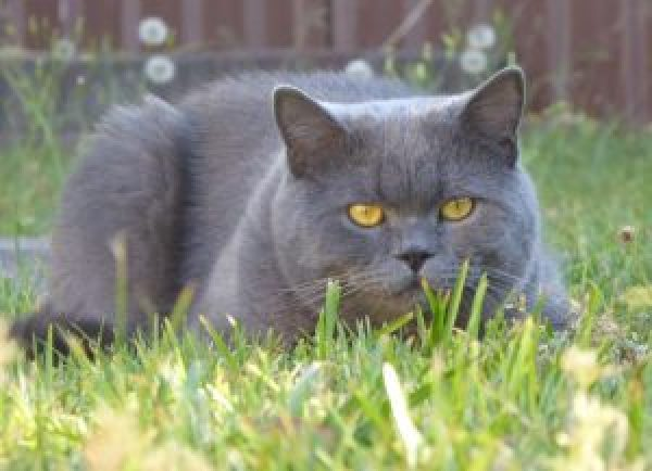 Frank, the British Shorthair cat