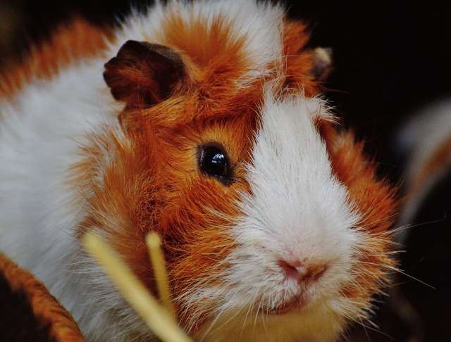 guinea pig siyah arkaplan