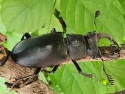 nazillide bulunan altı taraklı geyik böceği