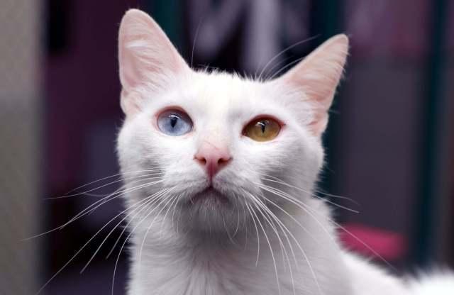 Van kedilerinin sağır olmadığı kanıtlandı
