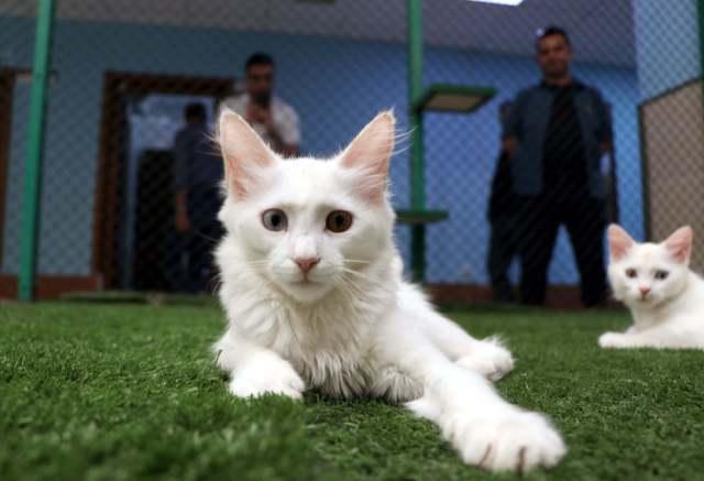 Çim üzerinde uzanan Van kedisi