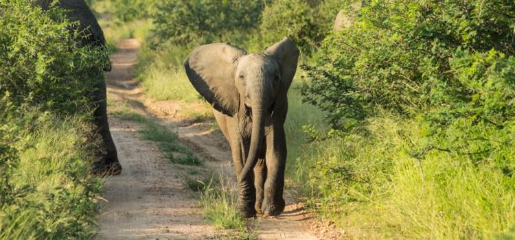 bebé elefante kruger