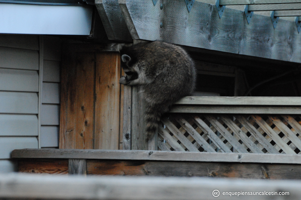 Centinela espiándonos desde la terraza del vecino. Está disimulando.