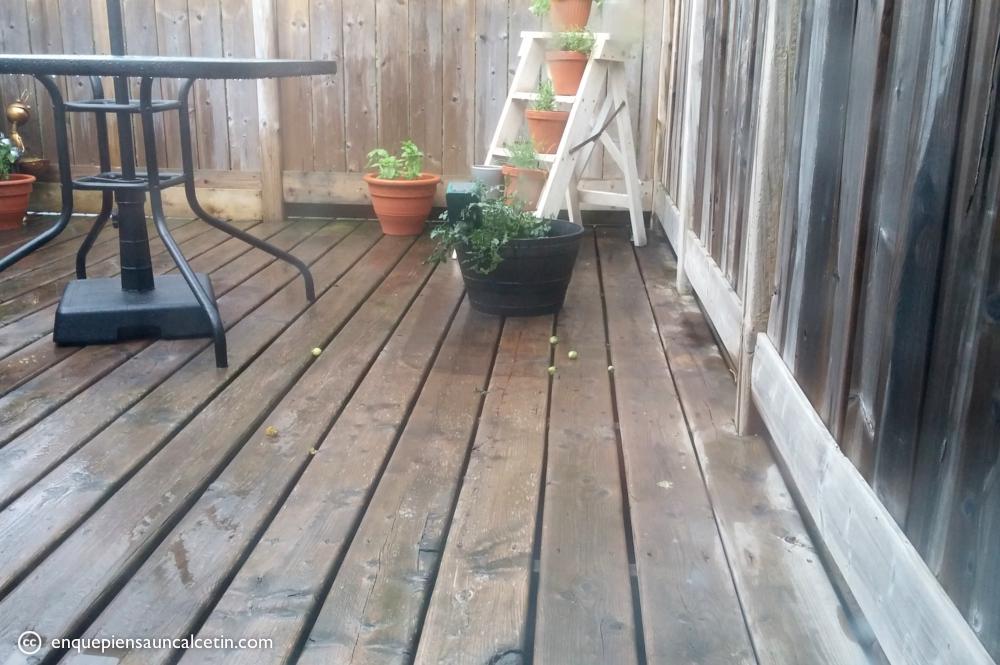 Los mapaches destruyendo nuestras fuentes de comida (las pelotillas verdes son tomates que han chuperreteado y mordisqueado pero dejado ahí para dar por saco).