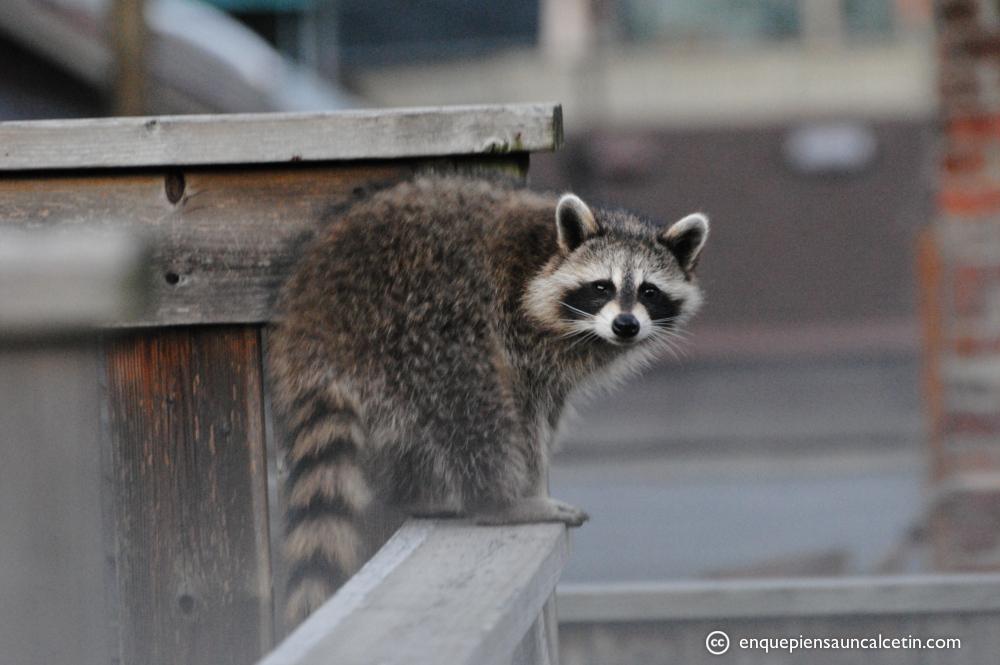 Los mapaches de Toronto al descubierto.