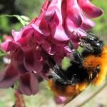 Un tercio de las especies de abejorros se encuentran amenazadas