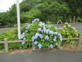 経ケ岬の紫陽花