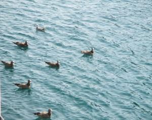 伊根湾遊覧船のエサ争奪戦が始まる前のカモメたち