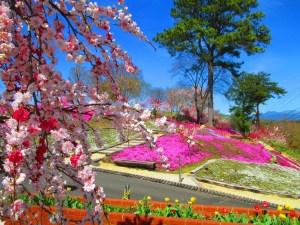 恵那峡 芝桜と源平枝垂れ桃