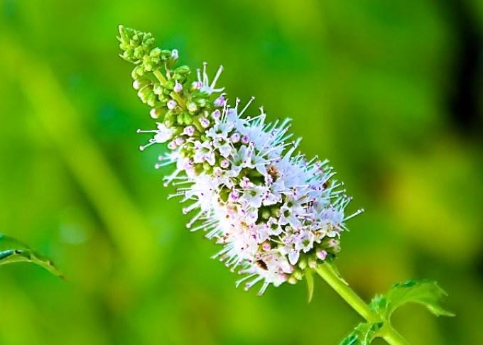 menta en flor, huerta, jardín de hierbas. gema de mi huerta