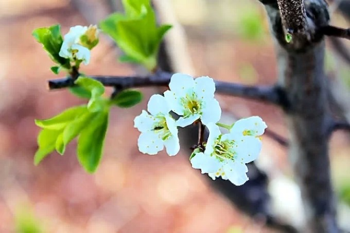 nectarine blossom, spring is in the air