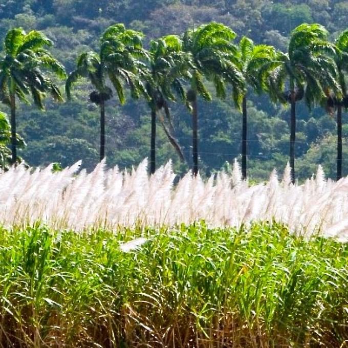 sugar cane plantation at the Hacienda Santa Teresa the oldest Ron de Venezuela producer