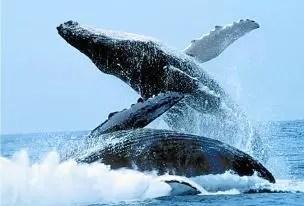 ballenas-jorobadas-ritual