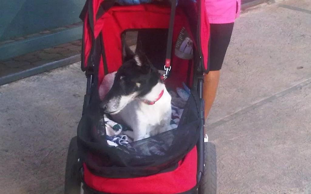 Paseo de un perro rico por la ciudad de Santo Domingo (video)
