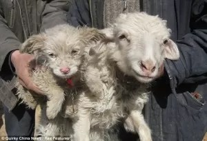 Una oveja que dio a luz un cachorrito