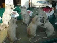 Proconsumidor cierra supermercado en Santiago tras detectar heces fecales de ratas en las góndolas