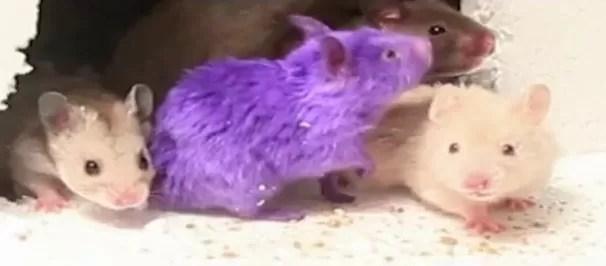 """Esperma de ratón produjo saludables """"crías espaciales"""""""