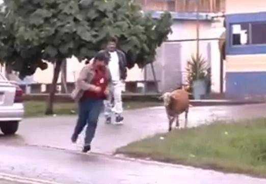 Chivos le dan carrera a un par de personas en Brasil (video)