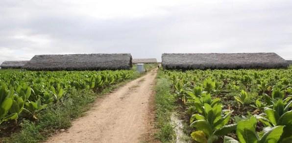 Tabaco dominicano