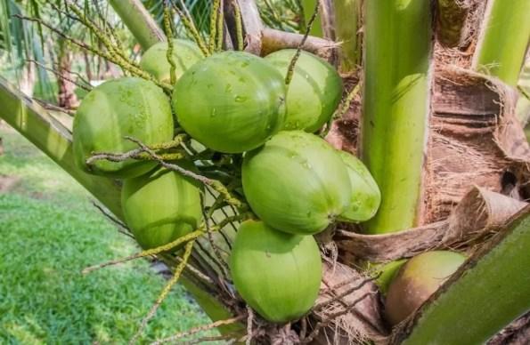 mata-de-cocos