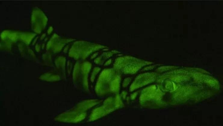 Científicos descubren el misterio de los tiburones que brillan en la oscuridad