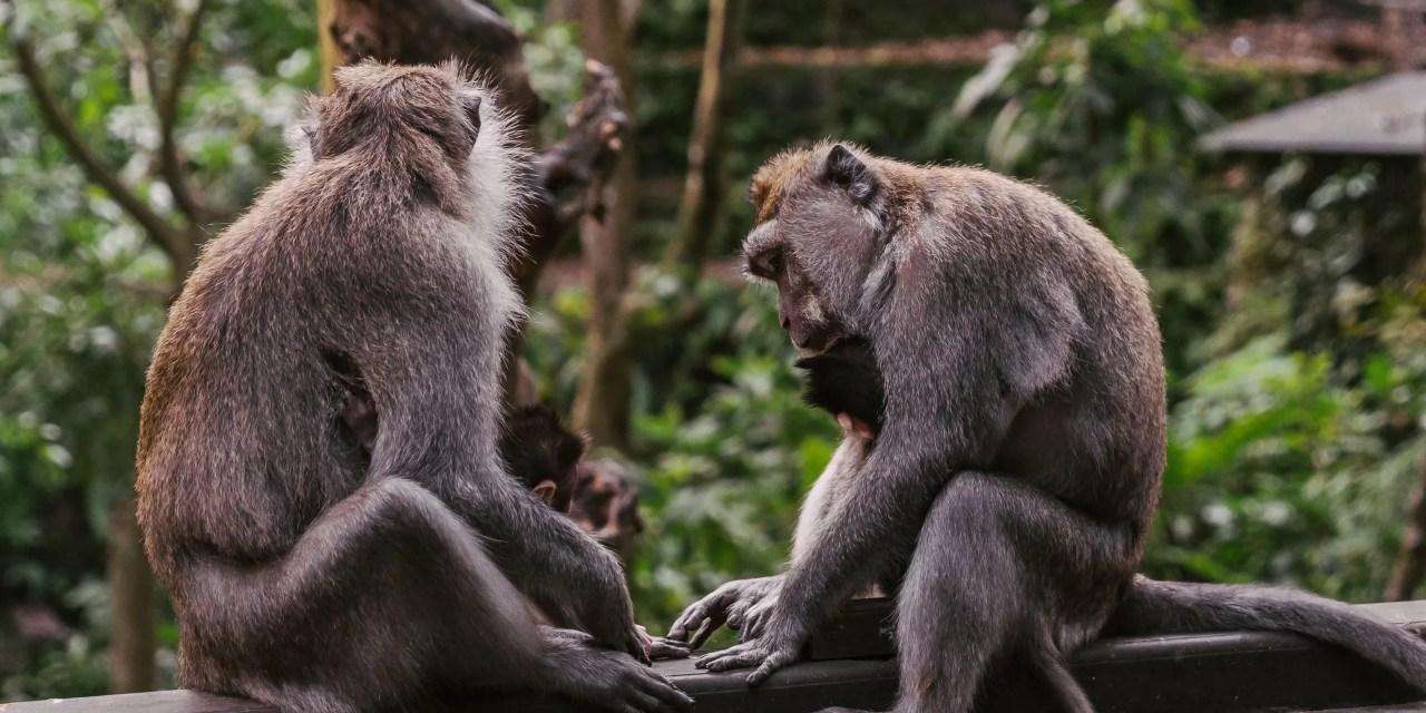 """Los chimpancés """"estrechan la mano"""" según su grupo social"""