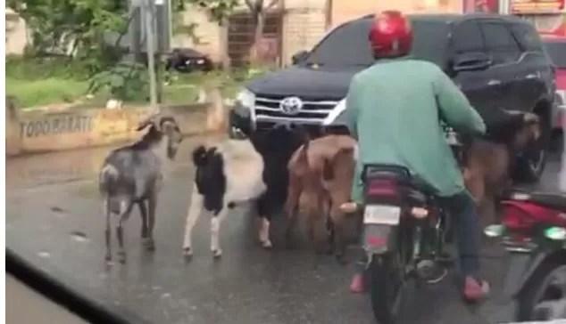 Los chivos que paran el tránsito en hospital de San Pedro de Macorís