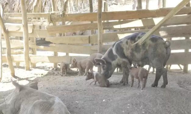 El gobierno repartió $395 millones a los porcicultores afectados por la Peste Porcina Africana