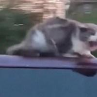 Gato salta de vehículo y provoca tapón en la Kennedy