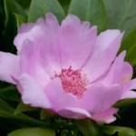 """Promoverán la flor nacional """"Rosa de Bayahíbe"""" en los aeropuertos"""