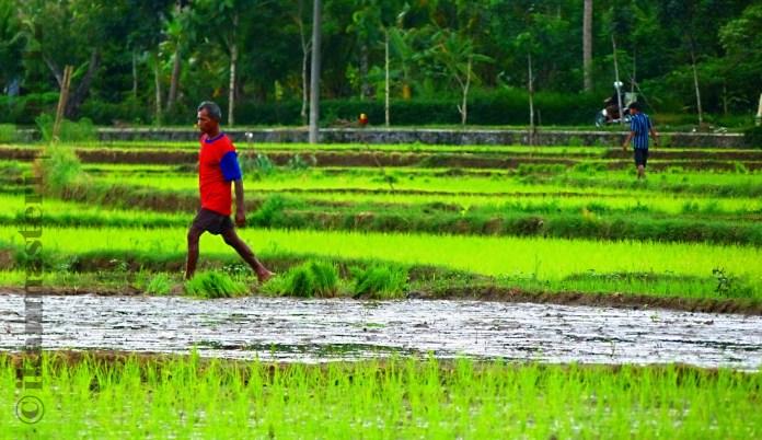 Bercocok tanam para petani dengan cangkul dan pacul