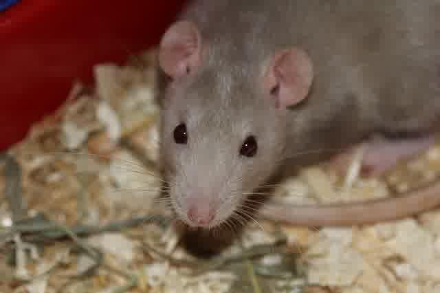 Cara Mencegah dan Meminimalisir Gangguan Tikus di Sekitar Rumah