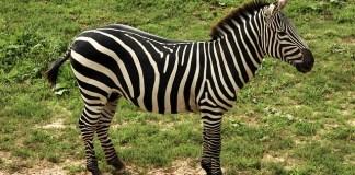 Zebra Kuda