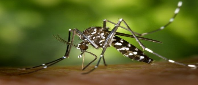 Apa Virus Zika itu - Nyamuk Aedes