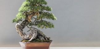 cara membuat bonsai