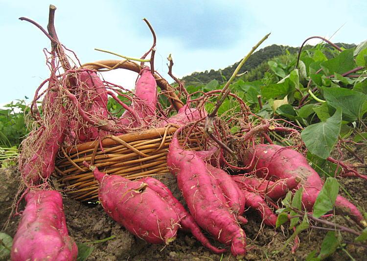 芋掘りの神戸市(兵庫県)と周辺のおすすめ!淡路市・三田市の場所も