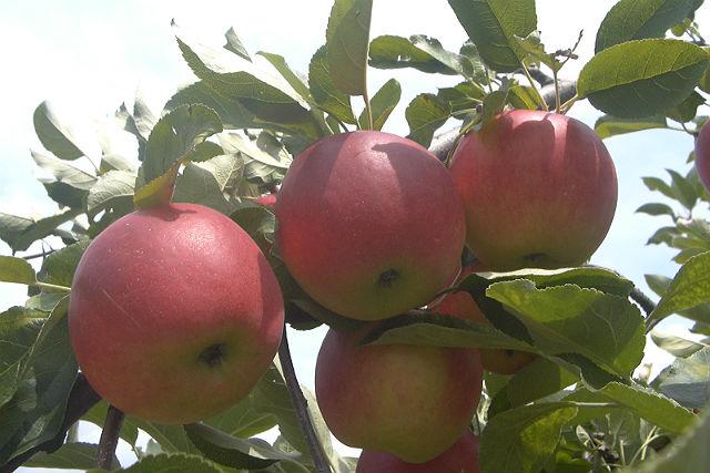 りんご狩りの群馬県のおすすめ!名月がある、時期、沼田・渋川市の場所も