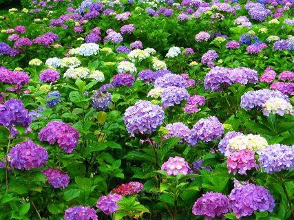 紫陽花の色が変化する・違う・変わる理由は?方法や種類別の花言葉も