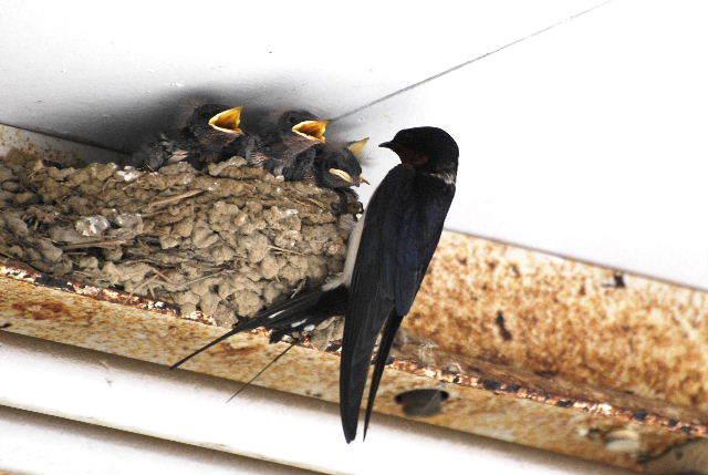ツバメ の 巣 縁起