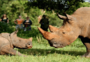 Ziwa Rhino sanctuary closed to protect rhinos – UWA